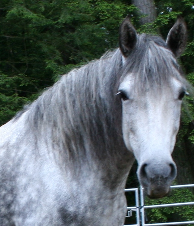 Horse Dapple Grey
